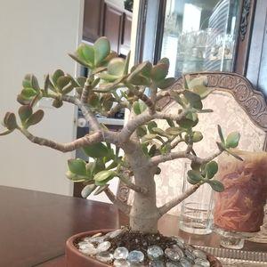 Bansoi jade lucky plant